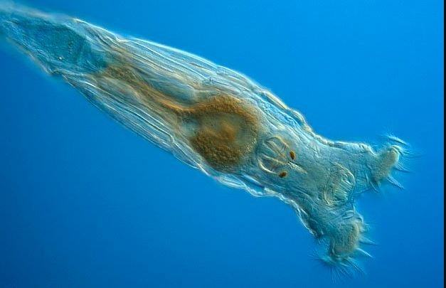 Bdelloid Rotifers animal with special power