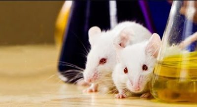 Why Do Medical Researchers Use Mice for lab experiments.
